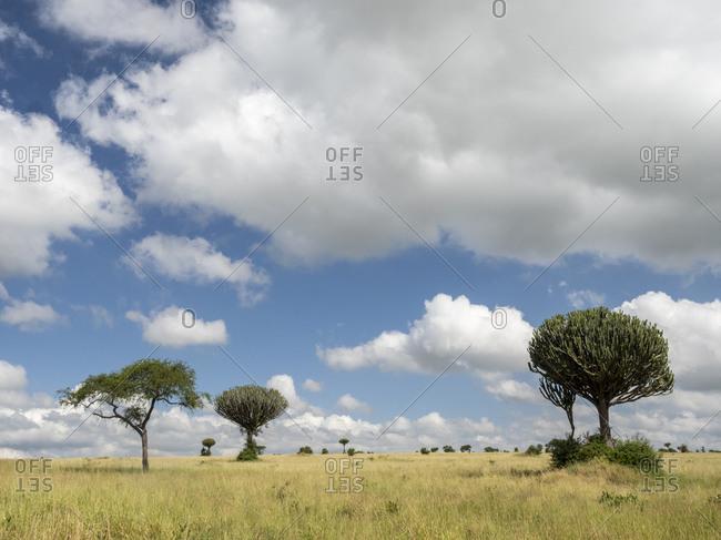 Acacia tree and candelabra tree (Euphorbia candelabrum) in Tarangire National Park, Tanzania, East Africa, Africa
