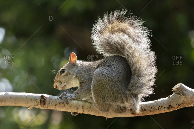 A Grey Squirrel photographed in a North Yorkshire garden, England, United Kingdom, Europe