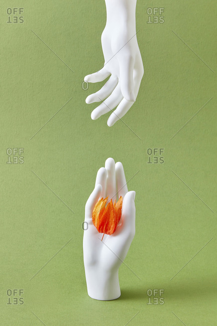 Two vertical mannequin's hands giving and taking a natural beautiful physalis flower against a light green background with soft shadow, copy space.