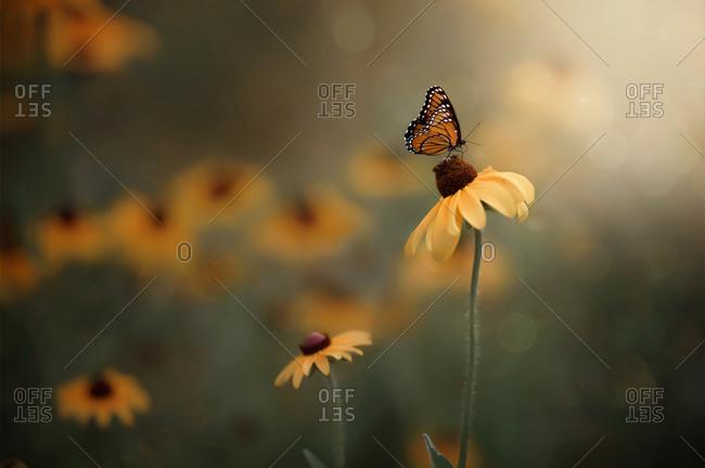 Portrait of monarch butterfly on yellow flower