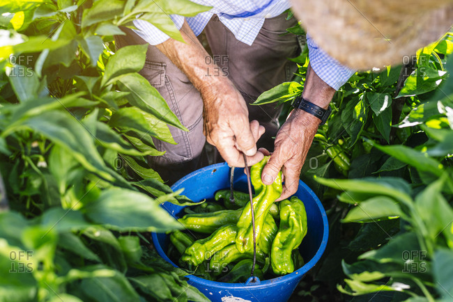 Senior man collecting peppers in bucket while standing at vegetable garden