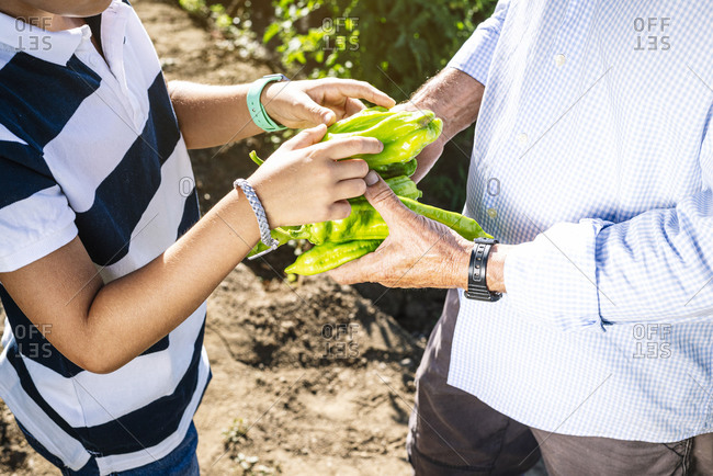 Close-up of grandfather and grandson holding peppers while standing in vegetable garden
