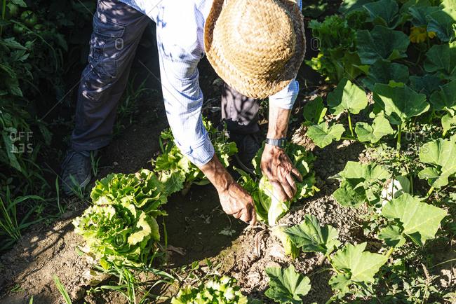 Senior man wearing hat picking leaf vegetables in garden