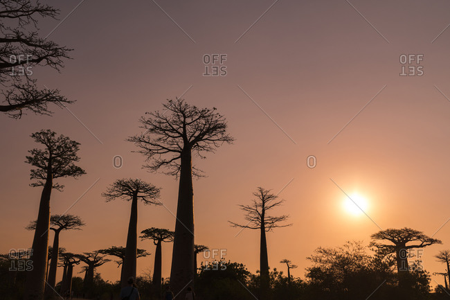 Silhouette baobab trees against clear sky at sunset in Morondava- Madagascar