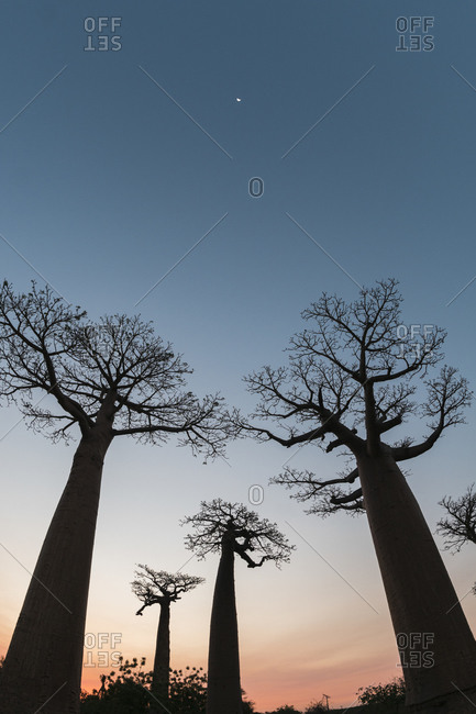 Silhouette baobab trees growing against clear sky at dusk- Morondava- Madagascar