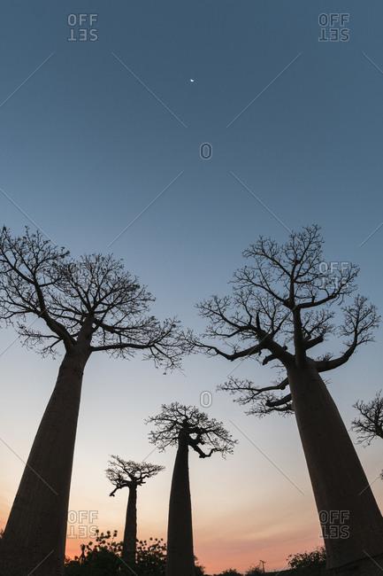 Silhouette baobab trees growing against clear sky at dusk- Morondava- Madagascar
