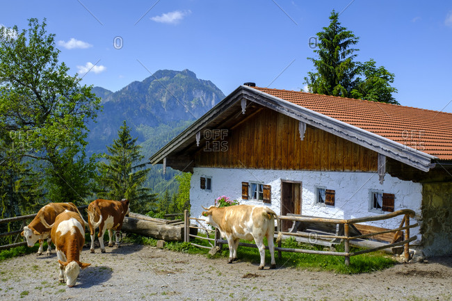 Germany- Bavaria- Bad Feilnbach- Cattle grazing in front of farmhouse in summer