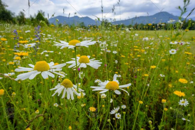 Marguerites blooming in springtime meadow