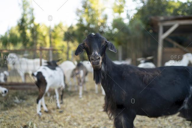 Black goat standing in farm