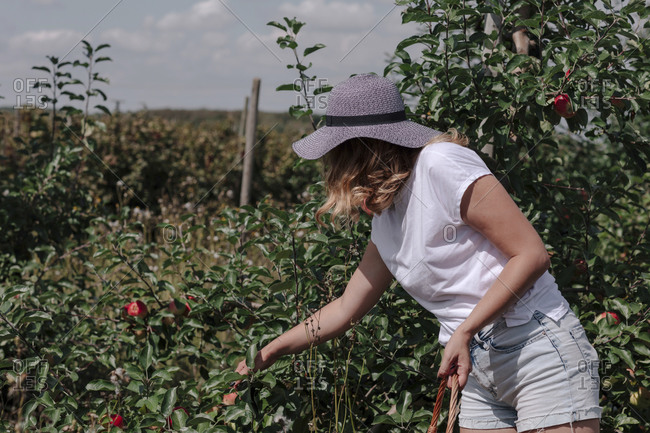 Mid adult woman wearing hat picking applies in orchard on sunny day