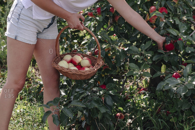 Mid adult woman wearing shorts picking apples while standing in orchard