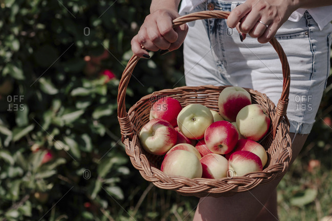 Close-up of mid adult woman holding apples in wicker basket while standing at orchard