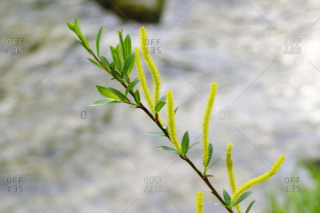 Female catkins of pussy willow (Salix caprea)
