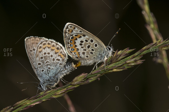 Two eastern baton blues (Pseudophilotes vicrama) mating on top of plant