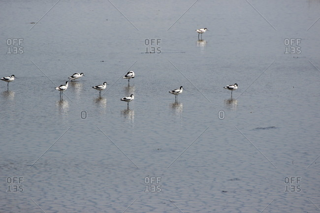Netherlands, north sea, waterfowl in nature