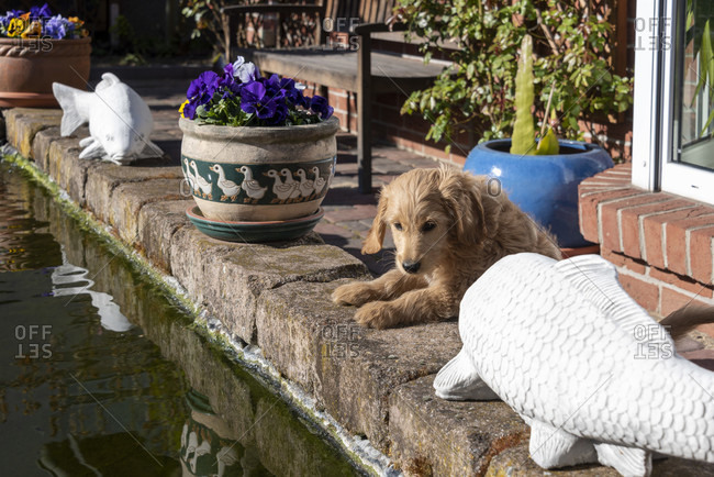 Puppy, mini goldendoodle, looks curiously into a koi pond.