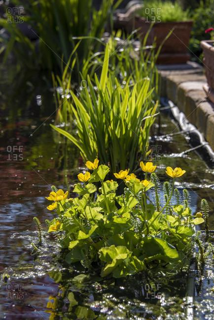Marsh marigold, caltha palustris wide shot