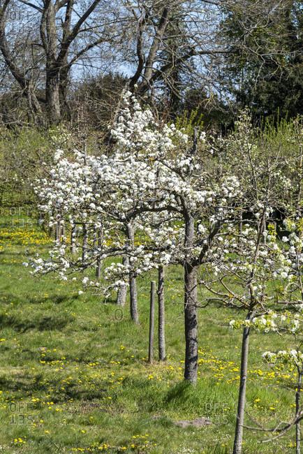 Blooming fruit trees in spring