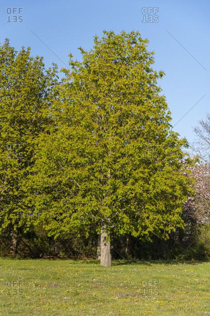 Chestnut tree, chestnuts, Castanea wide nature shot