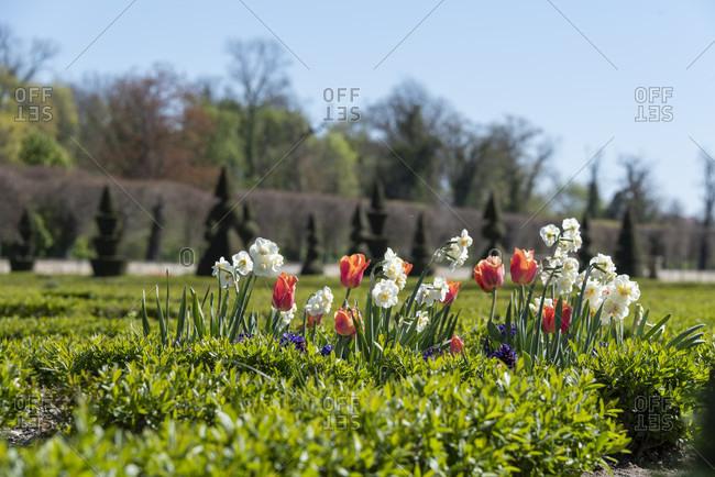 Germany, Saxony-Anhalt, hundisburg, tulips bloom in the baroque garden of hundisburg castle.