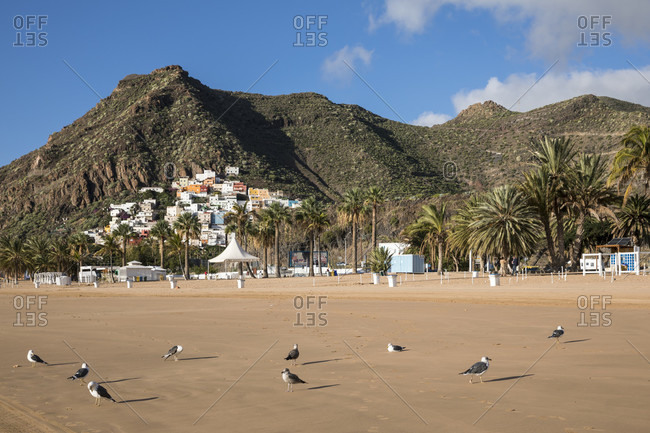 Seagulls on playa de las teresitas beach, san Andres, tenerife, canary islands, Spain