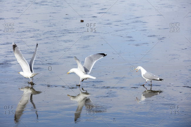 Wadden sea, seagulls, mudflats, norddeich, north sea, east frisia, lower saxony, Germany,