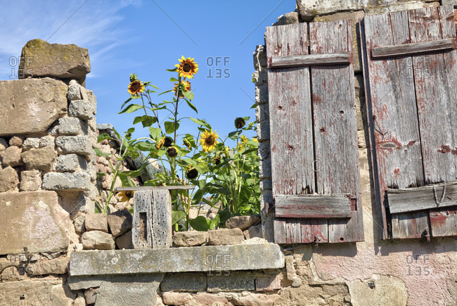 Stone wall, sunflowers, wood shop, garden, still life, wolfram-eschenbach, franconia, Bavaria, Germany