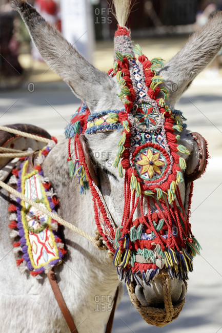 Donkey with halter, festival, traditional costume, tradition, culture, customs, el Puerto de Santa maria, andalusia, Spain, Europe