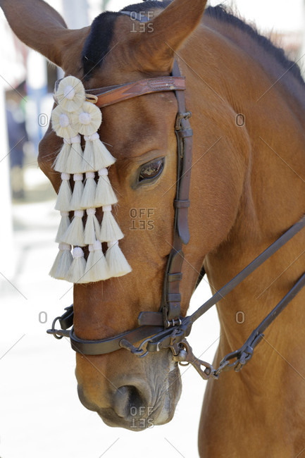 Horse with halter, festival, traditional costume, tradition, culture, customs, el Puerto de Santa maria, andalusia, Spain, Europe