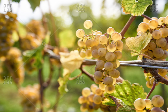 Ripe riesling grapes on the vine in the back light