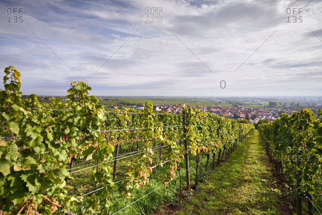 Vineyard, row of vines with ripe riesling grapes, view of ungstein