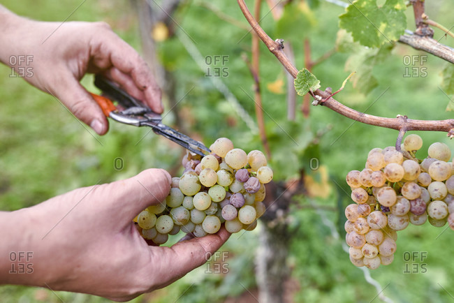 Grape harvesting assistant cuts out individual rotten and overripe grapes from whole riesling grapes with pruning shears