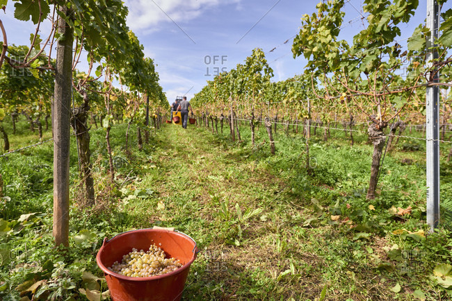 Vintage reading bucket filled with riesling grapes in row of vines with harvest helpers in the background