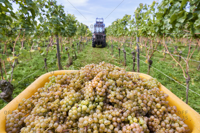 Grape harvest, collection container filled with riesling grapes in a row of vines, narrow-track tractor in the background