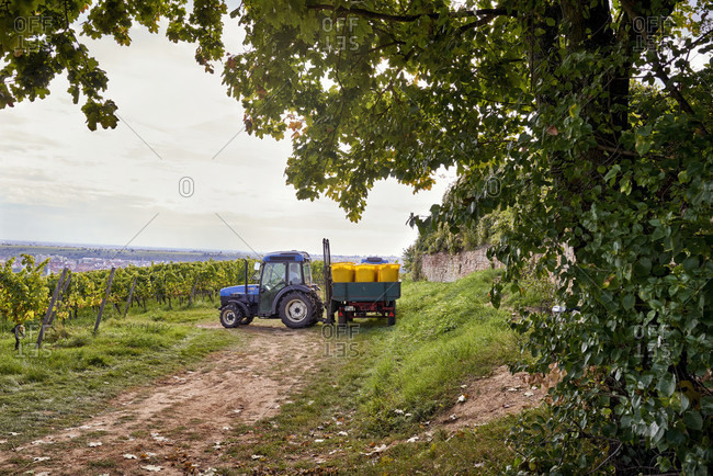 Grape harvest, narrow-track tractor with trailer, filled collection containers in a vineyard setting, in the background bad durkheim
