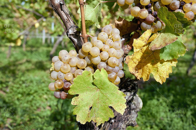 Ripe riesling grapes with leaves on the vine-covered vineyard