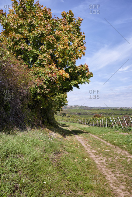 Vineyard path with lane and maple colored in autumn