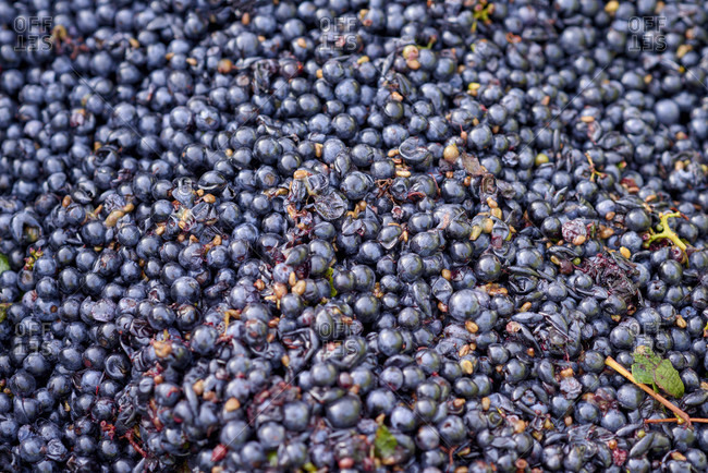 Harvesting, further processing of the grapes, pinot noir grapes in the reading container