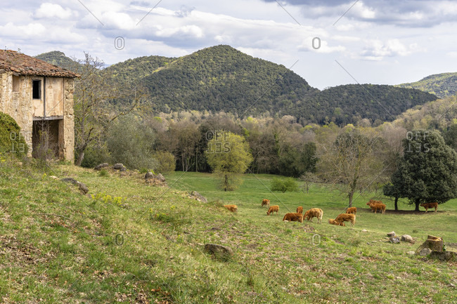 Europe, spain, catalonia, girona province, garrotxa, santa pau, cattle on a reindeer in the hilly area of santa pau