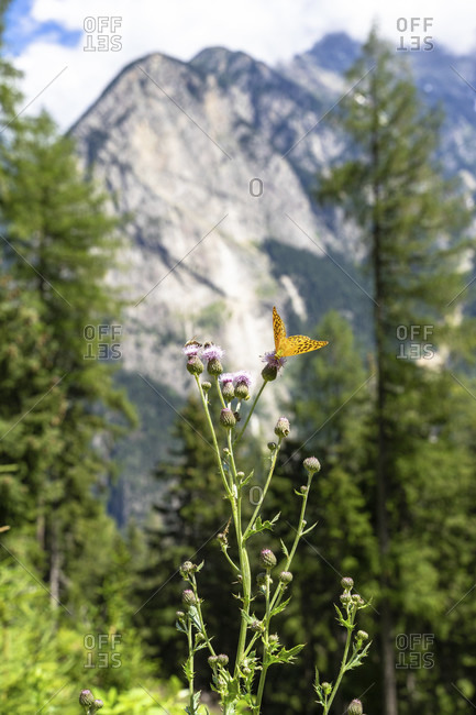 Europe, austria, tyrol, otztal alps, otztal, umhausen, butterfly against the backdrop of the acherkogel