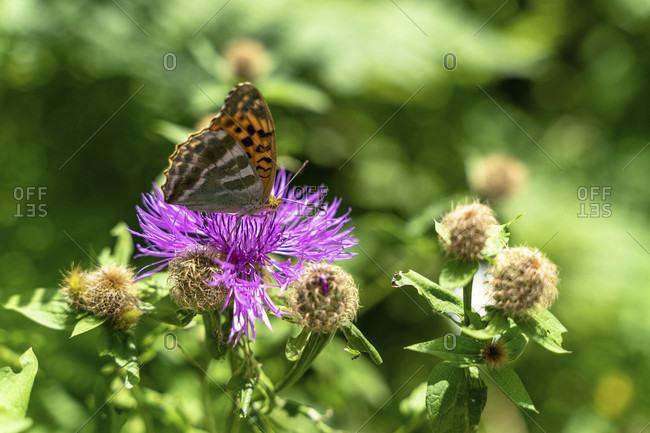 Europe, austria, tyrol, otztal alps, otztal, umhausen, butterfly on a flower