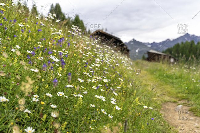 Europe, austria, tyrol, otztal alps, otztal, flowering mountain meadow on the otztaler urweg