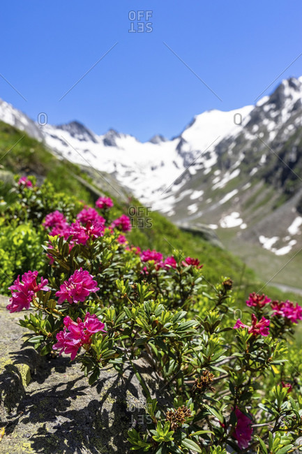 Europe, austria, tyrol, otztal alps, otztal, alpine flora in the rotmoostal with the rotmoosferner in the background