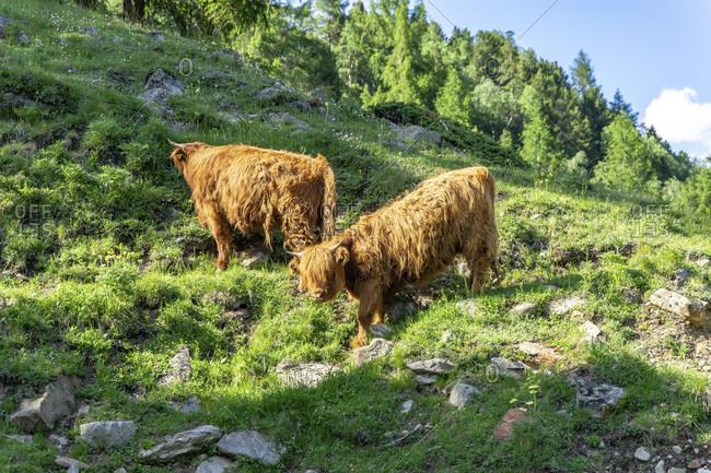 Europe, austria, tyrol, otztal alps, otztal, scottish highland cattle near obergurgl