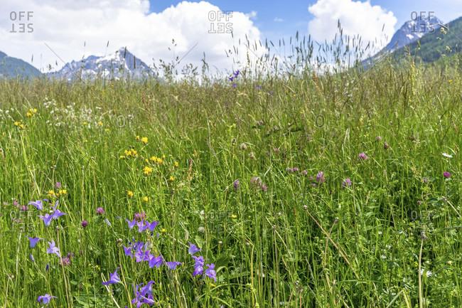 Europe, austria, tyrol, otztal alps, otztal, summer flower meadow near kofels in the otztal