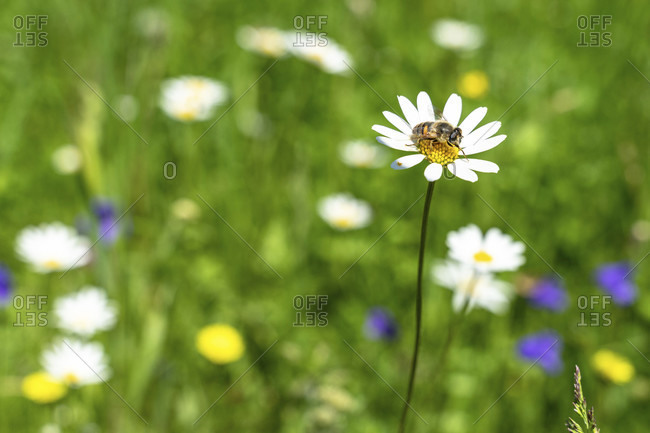 Europe, austria, tyrol, otztal alps, otztal, bee on daisies on a summer flower meadow in the otztal