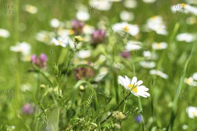 Europe, austria, tyrol, otztal alps, otztal, summer flower meadow in the otztal