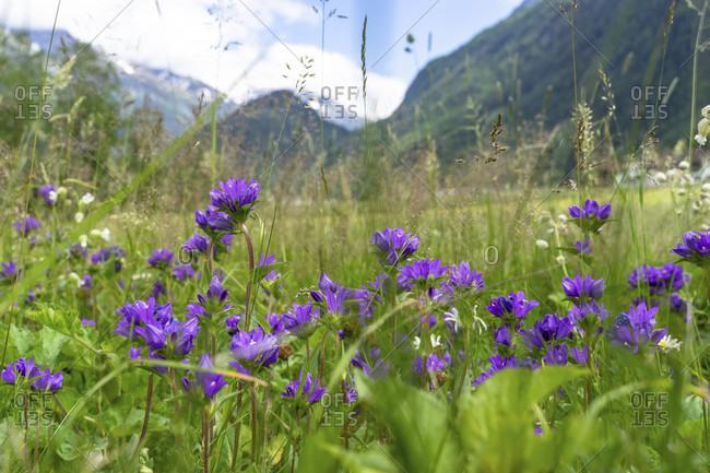 Europe, austria, tyrol, otztal alps, otztal, flower meadow between huben and längenfeld