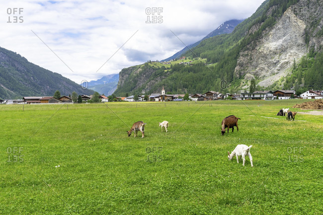Europe, austria, tyrol, otztal alps, otztal, goats in a meadow with a view of huben and burgstein