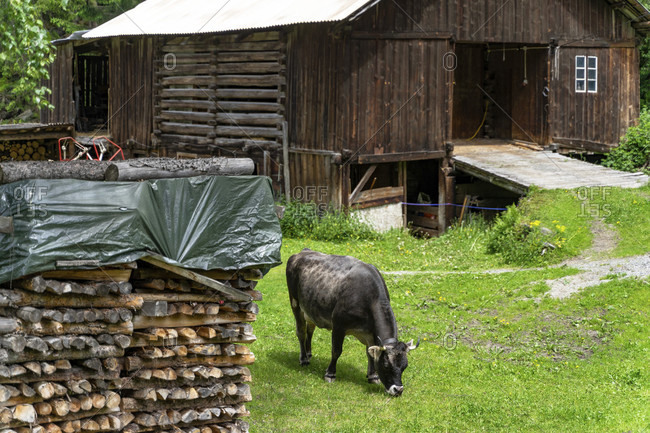 Europe, austria, tyrol, otztal alps, otztal, cow in a meadow in front of the stable